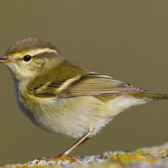 yellow-browed-warbler