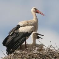 white-stork-26378